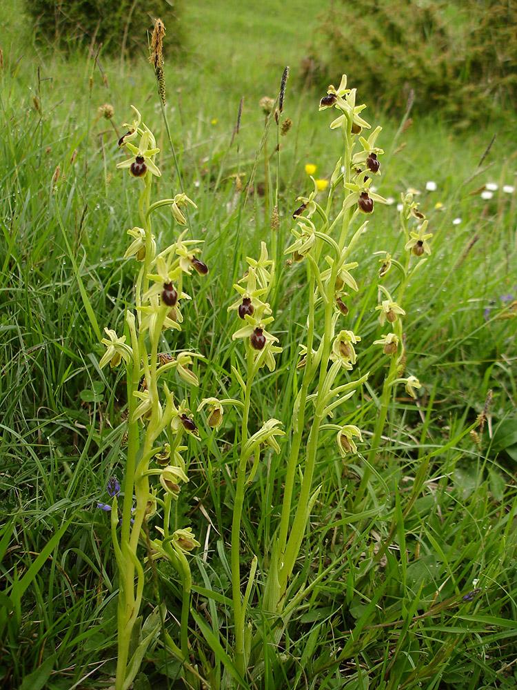 Ophrys araignée - © F. Caloin